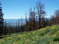 Photo of Gros Ventre Prescribed fire area one year post burn showing grass and wildflowers